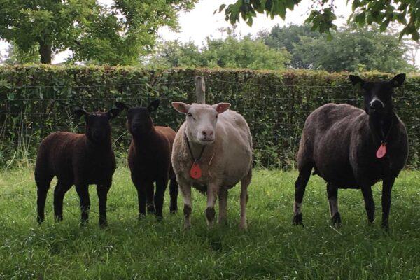 schapen alkenrode