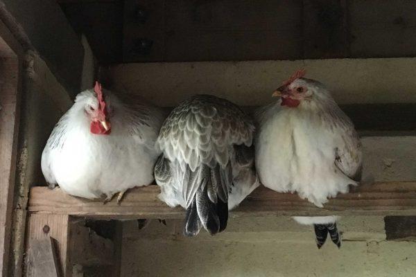 kippen alkenrode